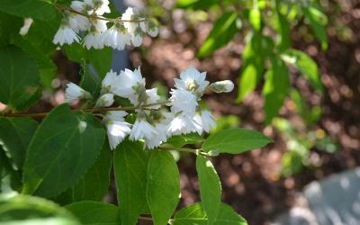Deutzia gracilis – Kecses gyöngyvirágcserje