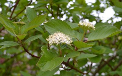 Cornus alba – Fehér som